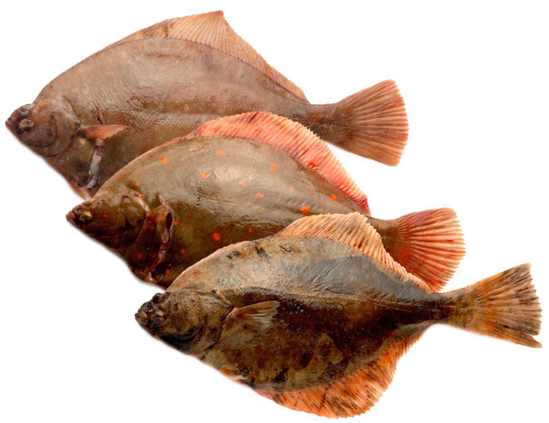 Fladfisk_arter